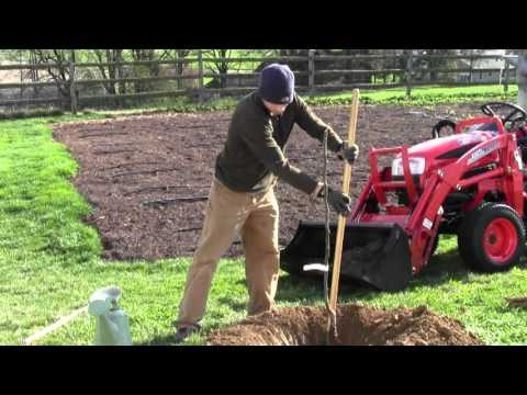 Video How to Plant a Bare Root Pear Tree