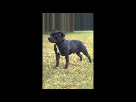 Some Truth and some Not Truth Staffordshire Bull Terriers (NOT A PIT BULLS)