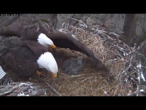 MNBound Eagles Extreme Alert Adult Eagle Intruder  5-1-13