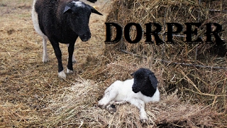 The Dorper Lambs Arrive