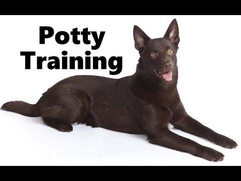 How To Potty Train A Kelpie Puppy - Australian Kelpie House Training - Housebreaking Kelpie Puppies