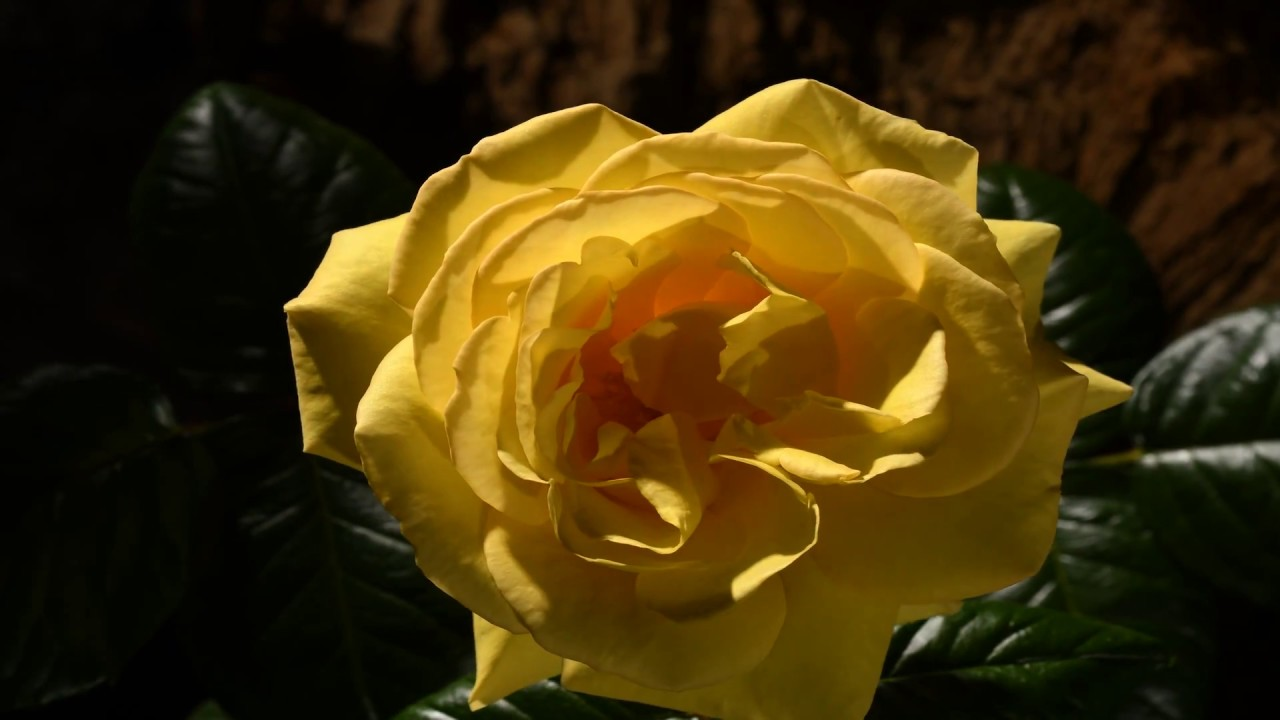 Yellow Rose Flower Opening Time Lapse Youtube
