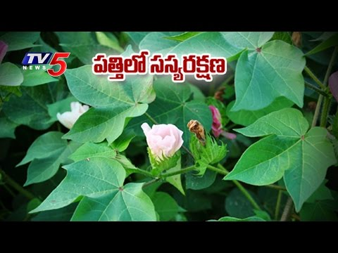 Suggestions For Control and Protection Of Cotton Plants | Annapurna | Telugu News | TV5 News