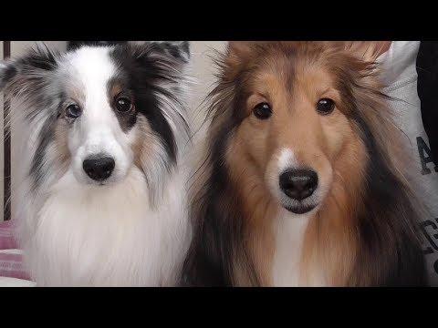【可愛いシェルティ】犬への心構えについて