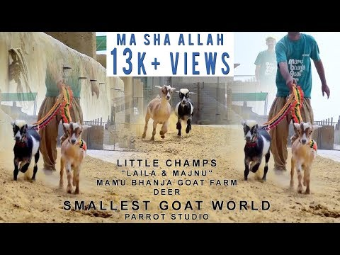 Laila & Majnu I Little Champs I Mamu Bhanja Goat Farm I Deer I Smallest Goat World I Parrot Studio