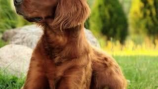 Irish Setter  Dog Breed  Pet Friend