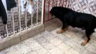 Rott Gili Oujda Lazari  Rottweiler Royal A Vendre Combat De Dog Bebe.avi