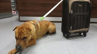 Kai The Shar-pei Crossbreed Was Found At Ayr Station With His Toy, Food And Bowl In A Suitcase