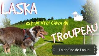 Laska est un vrai chien de troupeau ! #85