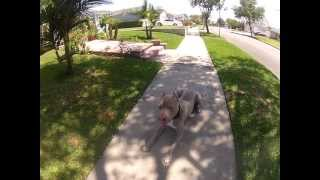 Pit Bull Off Leash Obedience Training Los Angeles & San Diego | Sandlot K9 Services