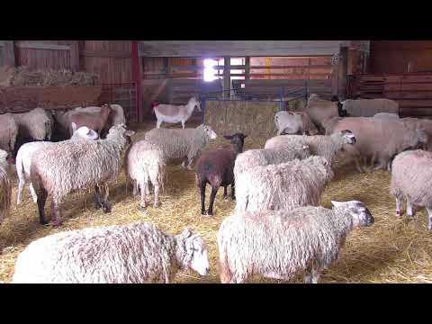 Sheep Barn Cam 02-10-2018 09:38:16 - 10:38:17