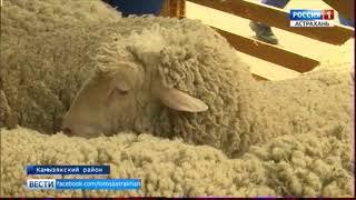 В Астрахани прошла 19-я Всероссийская выставка племенных овец