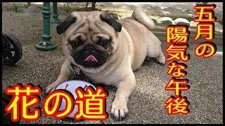 お勧め動画【パグの家族? Pug's Family】 → https://youtu.be/W1FdVY1N0...