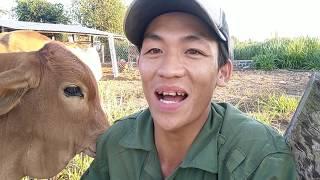 Hướng dẫn nuôi bò - Bò sinh sản không cho con bú nguyên nhân và cách khắc phục