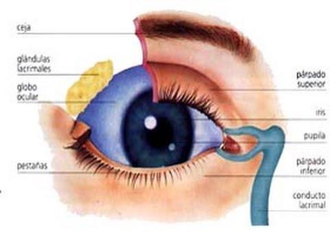 Anatomía III. Práctica 4.1 Estructuras protectoras del globo ocular ...