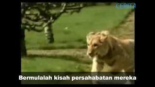 Download Video Viral kisah sedih singa dan tuannya dapat mengalirkan air mata MP3 3GP MP4
