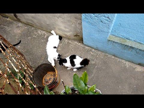 Manchinha vs Billy, black and white cats fighting - Round 6