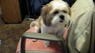 Shih Tzu Jake Crazy Dog  Wants Human Food