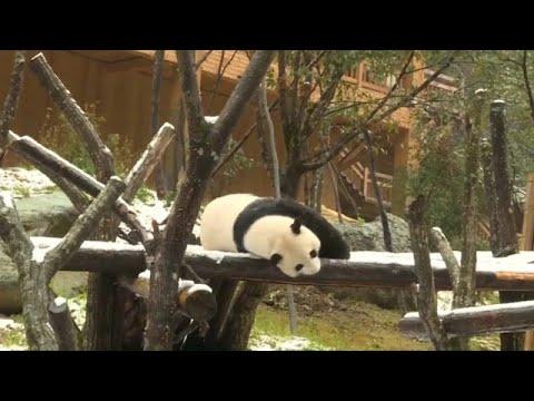 البندا العملاقة والقرود الذهبية في الصين تمرح وسط الثلوج…  - 06:53-2018 / 11 / 9