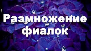 Мастер-класс «Черенкование фиалок» - газета «Мир новостей»