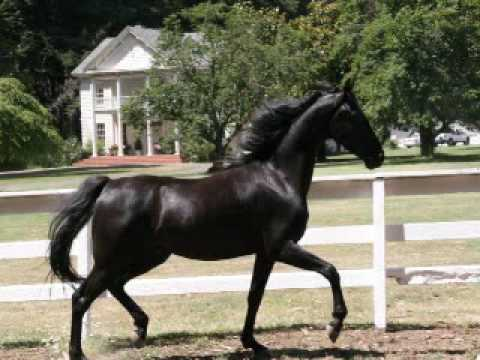 Black American Saddlebred Horses For Sale Youtube