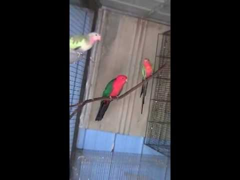 Australian male king parrot birds videos youtube