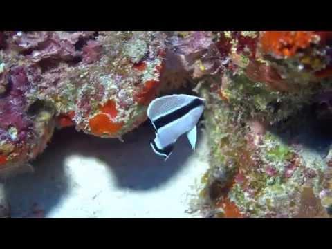 Juvenile Bandit Angelfish