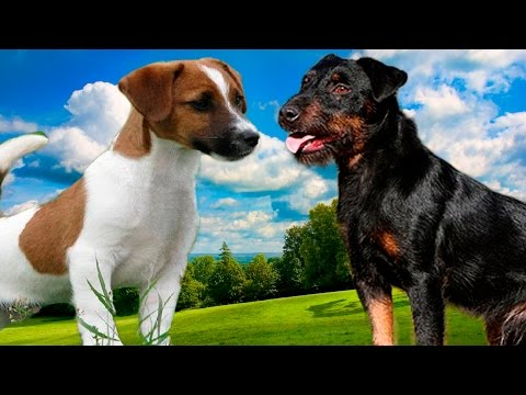 Jack Rusel terrier vs Jagdterrier - Highlights