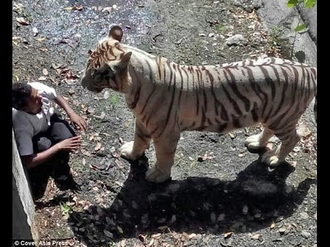 Man slipped in zoo , White Tiger Killed him in National Zoological Park , New Delhi (Camera Footage)