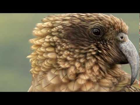 CHEEKIEST BIRD ON EARTH - THE KEA