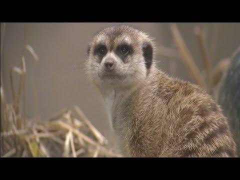 Baby Meerkats Song | Learn Animals Songs | From Baby Genius