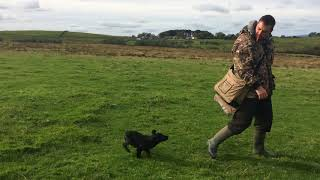 Working Cocker Spaniel pup Winbeck Wigeon- Intro to recall and sit. Aged 15 weeks.