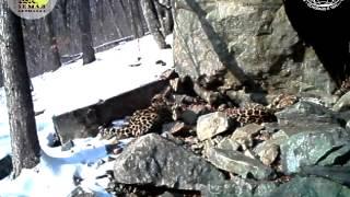 Брачные игры дальневосточных леопардов
