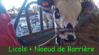 Faire un Licol - Noeud de Barrière - Pour Bovins