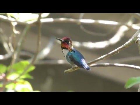 Bee Hummingbird - Zapata, Cuba
