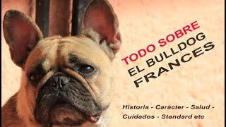TODO sobre El BullDog Francés  Patas y Pies TV