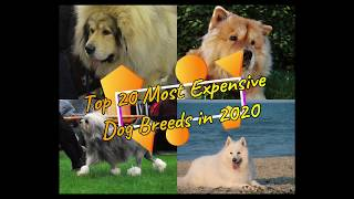 Top 20 Most Expensive Dogs in the World