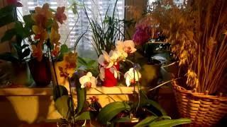 видео Почему орхидея сбрасывает цветы и бутоны. Мой личный опыт.