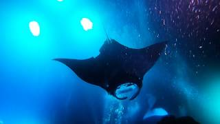 Kona, Hawaii Reef and Manta Ray Dive 18Oct2018