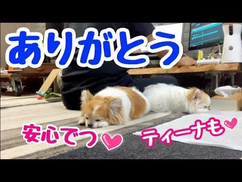 【感謝】毎日毎日一緒にいるのに直ぐ寄り添ってくる子犬チワワとシニア犬チワワ【かわいい犬】【chihuahua】【cute dog】【ペット動画】