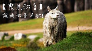 【太陽的子民 聚焦祕魯】認識祕魯羊駝!