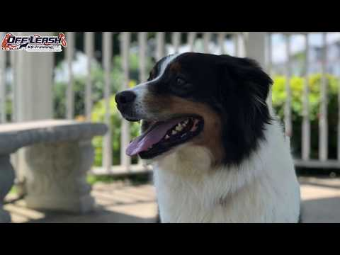 6 Month Old Border Collie Australian Shepherd Mix 'Buddy' Before/After Video | Georgia Dog Trainers