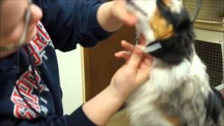 How to tape mini Aussie/ Miniature American Shepherd Ears