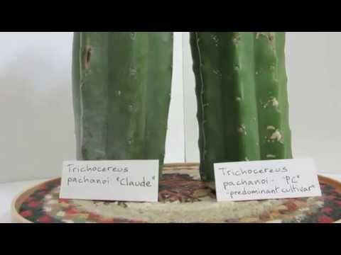 Trichocereus pachanoi PC vs Non PC - Cactus comparison