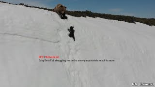 EPIC | Baby Bear Cub struggling to climb a snowy mountain to reach its mom | Motivational