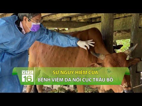 Sự nguy hiểm của bệnh viêm da nổi cục trâu bò | VTC16