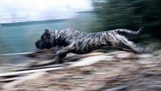 Dogo Canario in action - Calibu