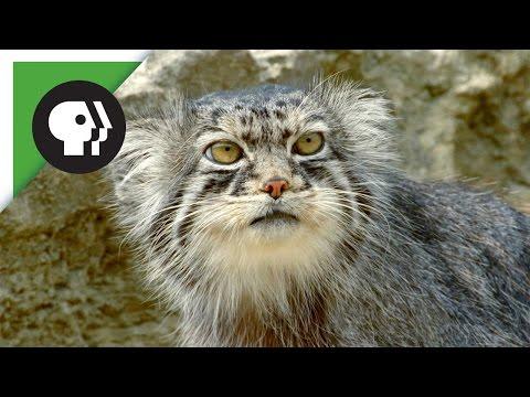 Chú Mèo Với Khuôn Mặt Cau Có Này Là Chuyên Gia Sinh Tồn Trên Núi