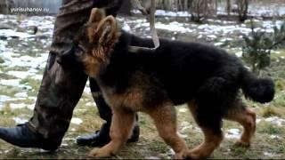 [Урок 5] Как приучить щенка к ПОВОДКУ