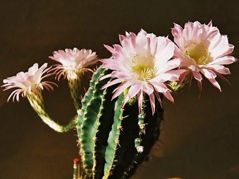 Цветы кактусы фото и названия